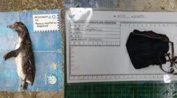 Pinguim é encontrado morto com máscara no estômago, no litoral de SP