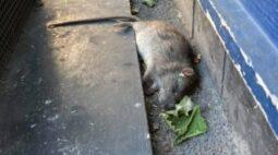 """Rato gigante assombra moradores: """"carne o bastante aí para um churrasco"""""""