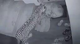 Vídeo flagra leopardo atacando cachorro na porta de casa; assista!