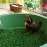 Como ajudar um filhote de passarinho que caiu do ninho?
