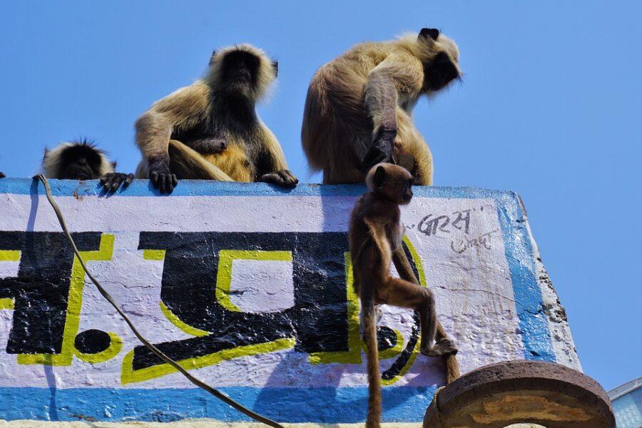 Humanos entram em guerra com macacos após onda de roubos e destruição