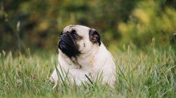 Estudo revela que cães obesos vivem dois anos a menos