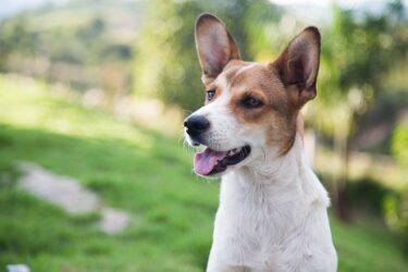 Por que os cães latem quando ouvem buzinas e sirenes?
