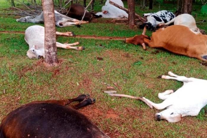 Veja o vídeo: Rebanho de gado morre ao ser atingido por raio