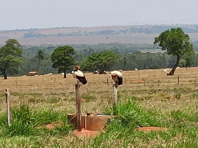 Casal de urubus brancos são fotografados em Planaltina do Paraná; Aves são raras na região