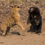 Vídeo registra briga entre tigre de bengala e urso mais mortal do mundo