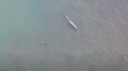 Pescadores registram encontro entre tubarão e crocodilo gigante