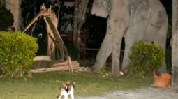 Gato chamado Simba afugenta elefante de quatro toneladas