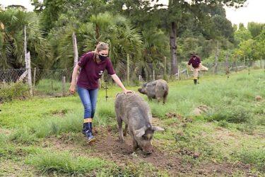 Criação de Porco Moura é resgatada no Paraná