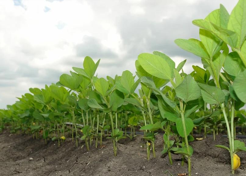 Plantio de soja no Paraná vai a 97% da área, mas mantém atraso