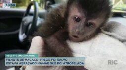 Filhote de macaco-prego é resgatado; estava abraçado à mãe que foi atropelada