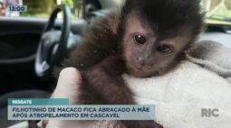 Filhotinho de macaco fica abraçado à mãe após atropelamento em Cascavel
