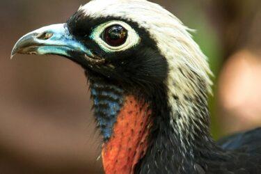 Jacutinga é um dos destaques na trilha do Parque das Aves