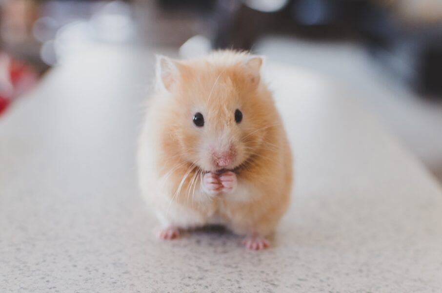 Hamster toma banho? Descubra os cuidados de higiene com o pet