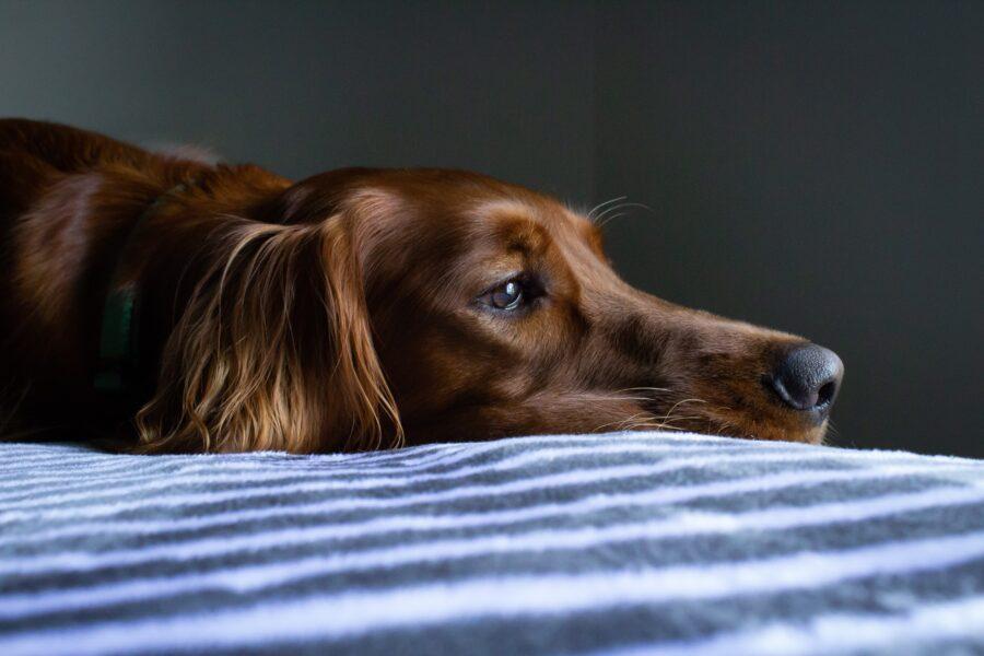 Cachorro intoxicado: como identificar e o que fazer