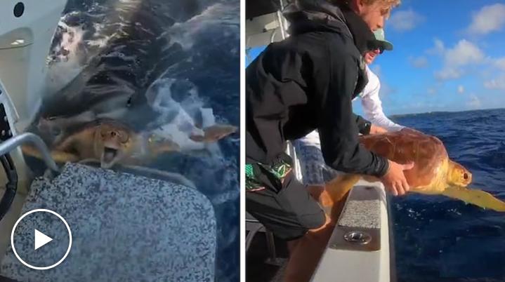 Tartaruga é salva da boca de tubarão-tigre por pescadores; assista!