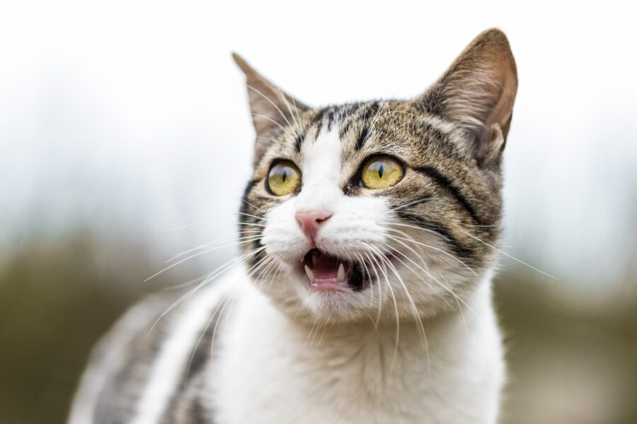 Conheça as empresas que lutam para criar uma vacina contra a Covid-19 para gatos