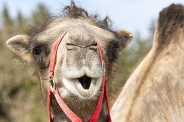Trabalhador fica gravemente ferido após ser atacado por camelo em zoológico