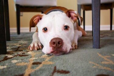 Como ensinar cachorro a fazer xixi e cocô no lugar certo