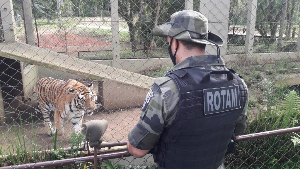 Tigre da Malásia é resgatado em chácara na Grande Curitiba