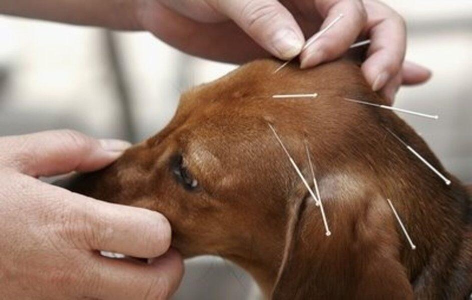 Acupuntura: conheça os benefícios para a saúde dos pets
