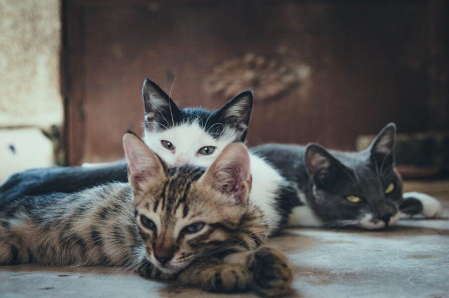 Saiba como prevenir o seu gato da Esporotricose