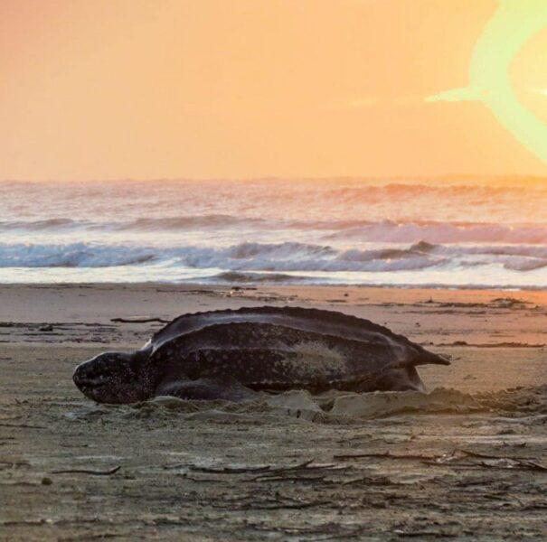 Tartaruga-de-couro desova 98 ovos em Pontal do Sul, no litoral do Paraná
