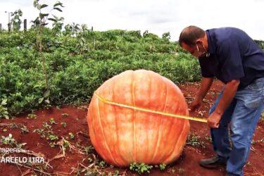Agricultor de Cascavel tem cultivo de abóbora gigante
