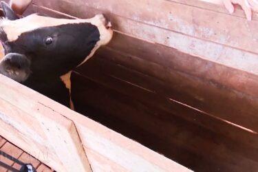 Raiva bovina é identificada em animais de Cascavel