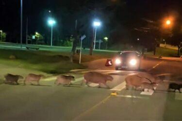 Capivaras viralizam em Curitiba ao atravessar rua em faixa de pedestre