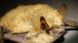 Doença encontrada em morcegos da Austrália pode matar humanos, alertam especialistas