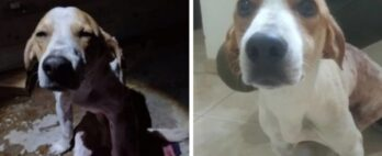Cão que foi esfaqueado para proteger dona recebe alta do hospital