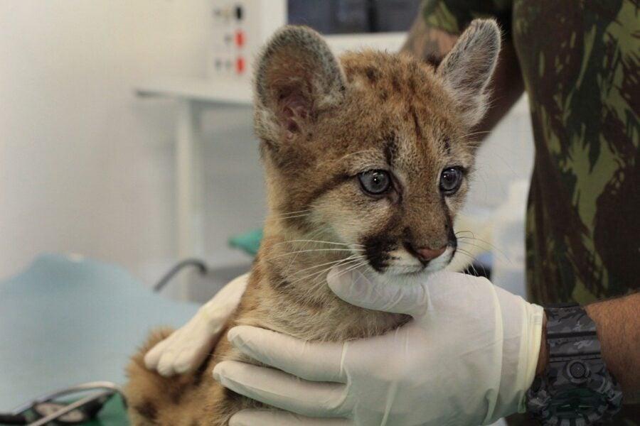 Filhote de onça parda é a nova moradora do zoo de Cascavel