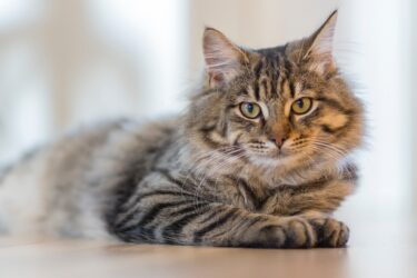 Queda de pelo em gatos: o que pode ser e o que fazer