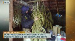 Plantação com mais de setenta e oito pés de maconha é descoberta no oeste