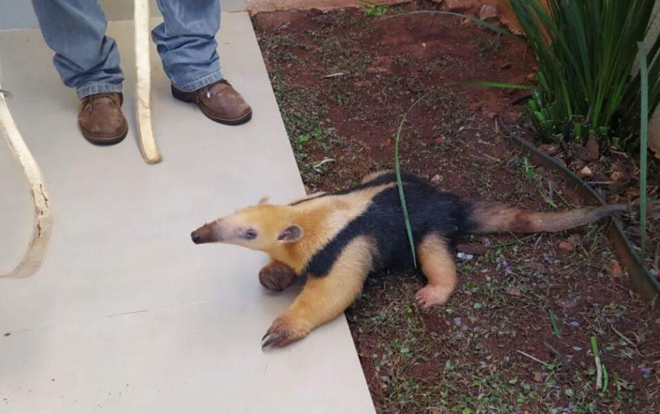 Simpático, tamanduá-mirim visita residência em município no noroeste do Estado