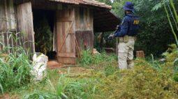 Polícia persegue suspeito e encontra galpão com plantação de maconha; três foram presos