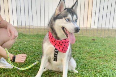 Onde está a Dora? Família de Curitiba busca e oferece recompensa por Husky Siberiano