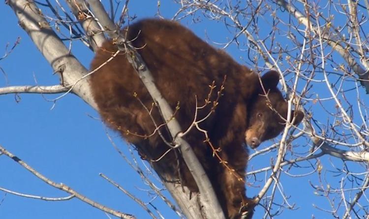 Urso tem cochilo em cima da árvore interrompido por curiosos; veja o vídeo