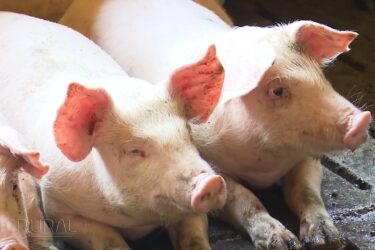 Carne suína ganha cada vez mais espaço no mercado