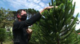 Embrapa Florestas desenvolve técnica de produção de pinhão