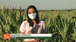 Agricultores estimam perda do milho safrinha na região de Maringá