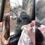 VÍDEO: Gorila fica impressionado com bebê humano