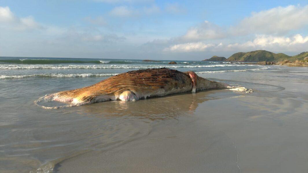 Baleia jubarte é encontrada morta na Ilha do Mel