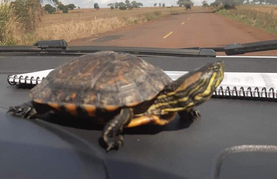 Família pede ajuda para encontrar tartaruga 'fujona', em Londrina (PR)