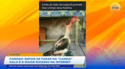 Galo é o maior sucesso na internet depois de parar na cadeia em Ivaiporã