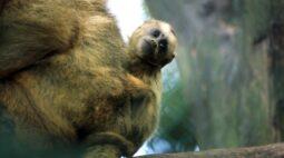 Zoológico de Cascavel lança campanha para escolher nome de filhote de bugio ruivo