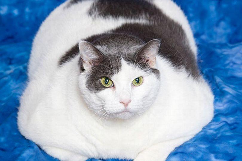 Gatos castrados engordam?