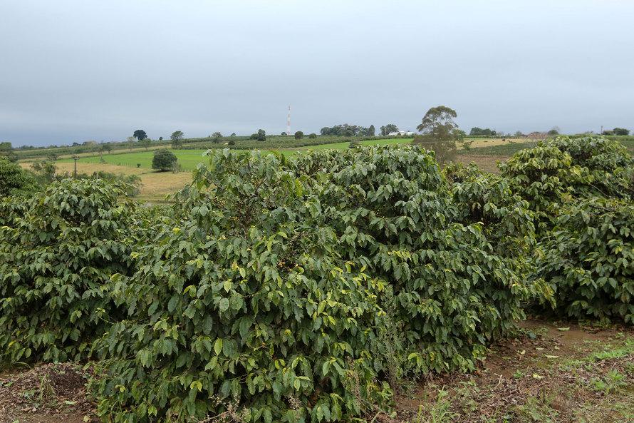 Região cafeeira do Paraná tem alerta de geada; veja orientações