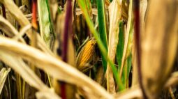 Chuva prejudica safra de milho; 78% dos grãos estão com medianos ou ruins